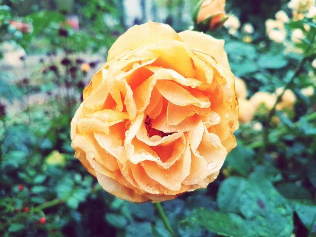 garden center Rosé Daylight Outside Orange Color Sheets🍃 EyeEm Selects Flower Head Flower Petal Close-up Plant