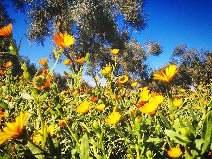 Salento Ortelle Olivo Campagna Natura Nature Italia Puglia Italy Olive Fiore Fiori Cielo Sky