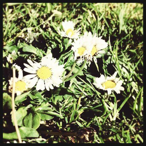 Flowers Des Fleurs Summercomeback Seviyorsevmiyor Papatya Falı
