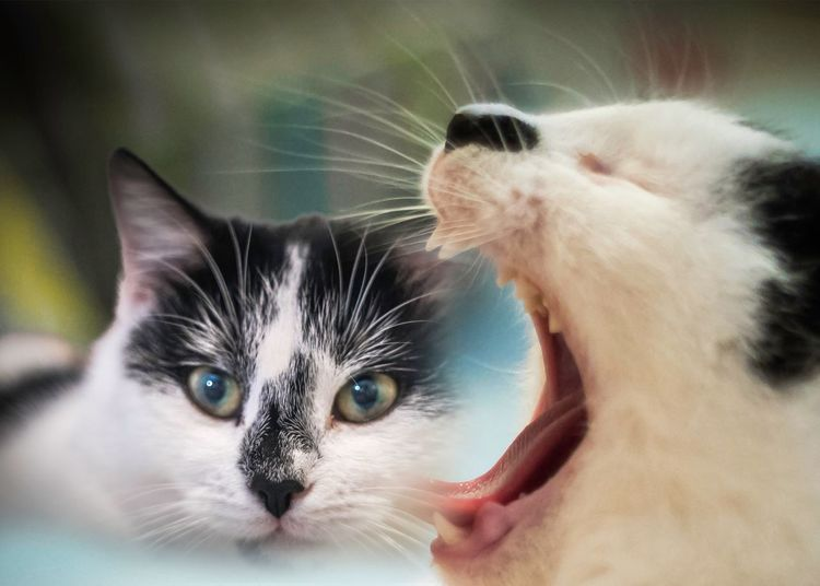 🐈 Normal Life Popularpic 0.5 Years Love ♥ Boy & Girl Kiti Cat Dubleexposure Two Cats Playing Cats Domestic Cat Pets Domestic Animals Feline Animal Themes Mammal Whisker Cat Portrait Close-up No People Day Siamese Cat Indoors