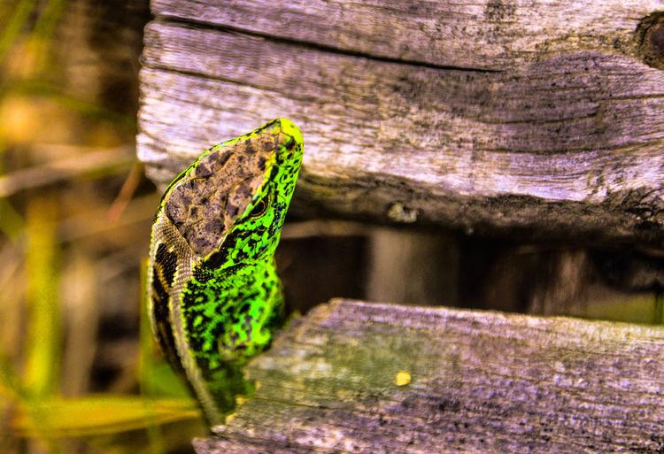 Lizard Animal