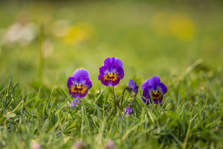 Beautiful, brifgt pansy flowers in the garden. Colorful spring scenery with flowers. Europe Beautiful Beauty Bedding Bloom Blooming Blossom Botany Bright Color Colorful Day Flora Floral Flower Garden Green Growing Leaf Life Low Meadow Natural Nature Outdoors Outside Pansy Park Petal Plant Pretty Scenery Season  Small Spring Summer Sunny Tricolor Vibrant Vivid Yellow Flowering Plant Vulnerability  Beauty In Nature Fragility Freshness Growth Close-up Flower Head No People