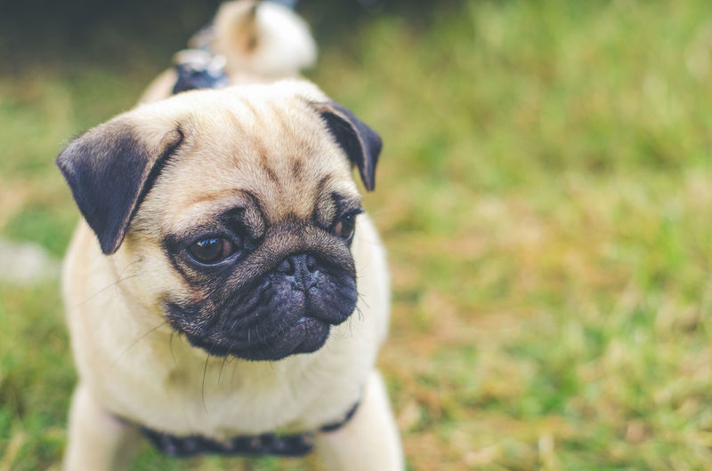 One Animal Pug Animal Themes Canine Dog Animal Mammal Domestic Pets Domestic Animals Lap Dog Portrait Small Young Animal Grass Vertebrate Day Focus On Foreground Nature Close-up No People Animal Head  Purebred Dog Purple
