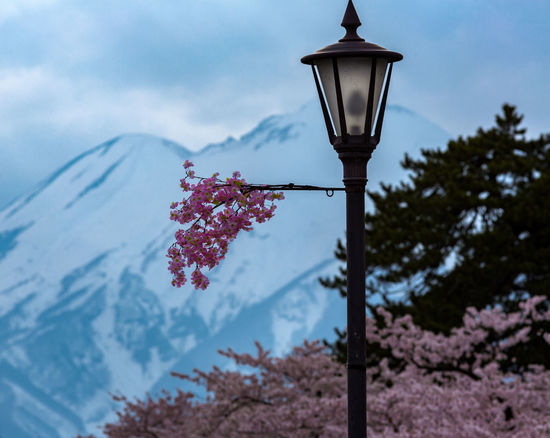 Street view of s Lighting Equipmentakura in bloom No People Flower Street Light Outdoors Low Angle View Nature Day Tree Sky Close-up Sakura Sakura2017 Cherry Blossoms Tohoku Japan Nature Photography Naturephotography Japan Photography Mountains Snowcapped Mountain Tohoku Photography Beauty In Nature Tranquility Springtime EyeEmNewHere Colour Your Horizn