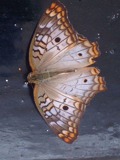 Butterfly - Insect Nature