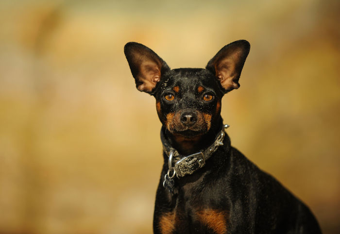 Miniature Pinscher dog Canine Dog Domestic Animals Mini Miniature Pinscher Pet Small Dog