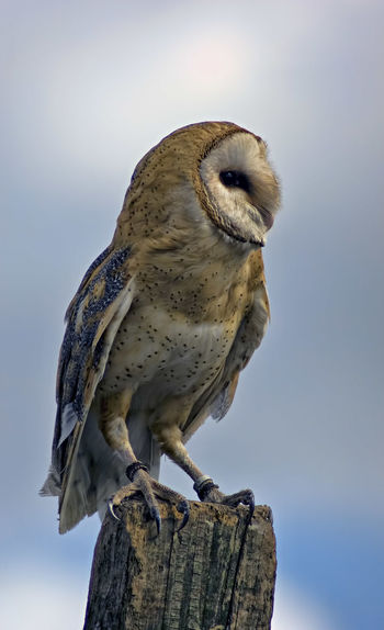 Owl Perching On Wooden Post Against Sky