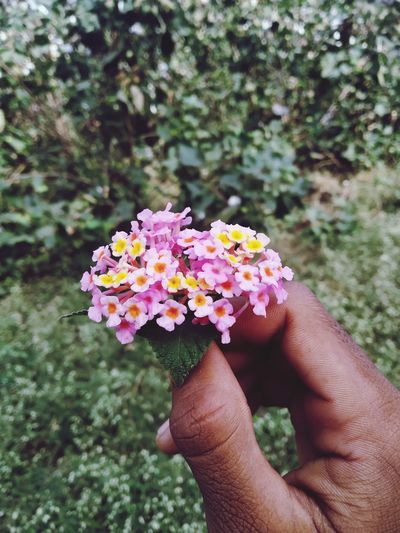 Close-up of hand holding pink flowers by plants