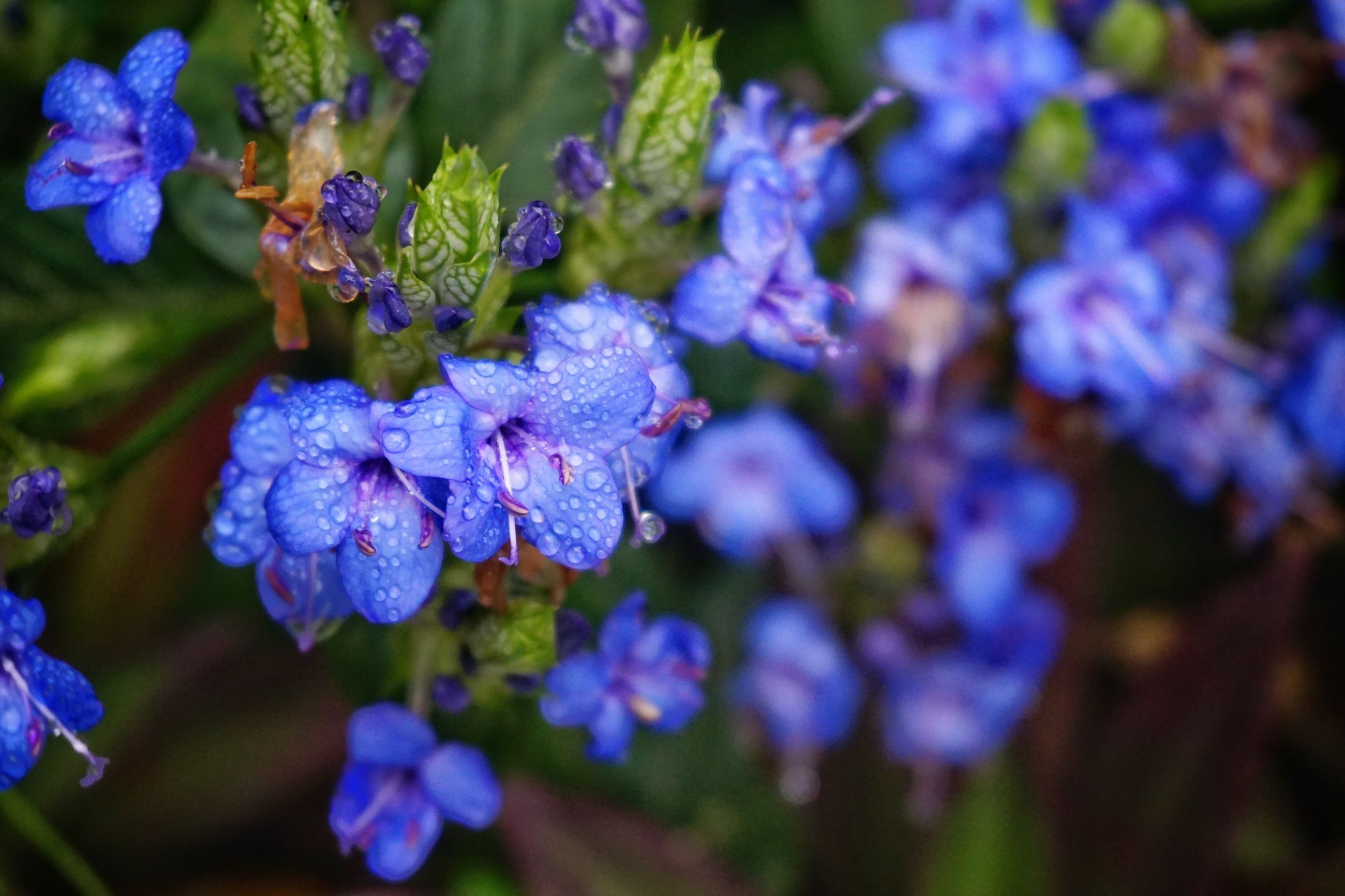 flower, purple, freshness, fragility, petal, growth, beauty in nature, flower head, blooming, close-up, focus on foreground, nature, plant, in bloom, selective focus, blue, park - man made space, outdoors, springtime, blossom