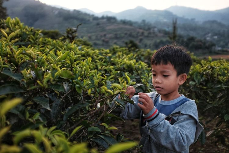 picking tea leaves Child Childhood Boys Agriculture Rural Scene Crop  Plant Farm Worker Picking Farm Harvesting Farmland Organic Farm Agricultural Field Vegetable Garden