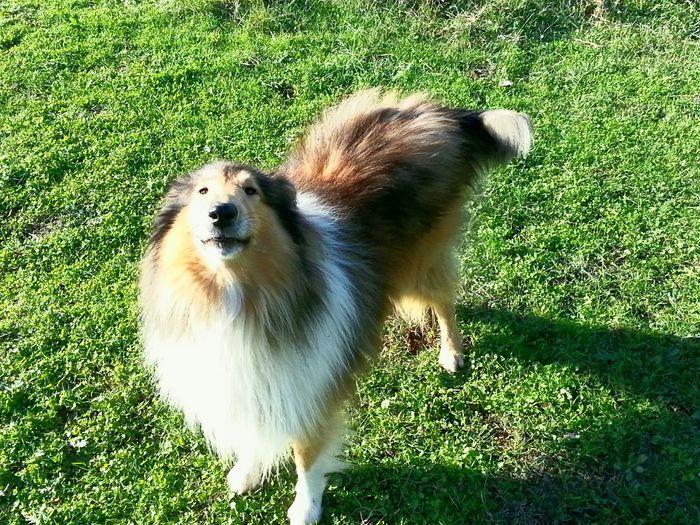 Mydog♡ Dog Mydog Lassie Samy Chien
