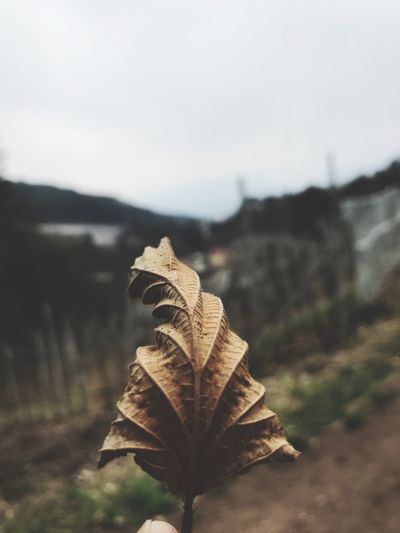 Leaf Autumn Dry Change Day Nature Outdoors Close-up Focus On Foreground Maple Fragility No People Beauty In Nature Sky
