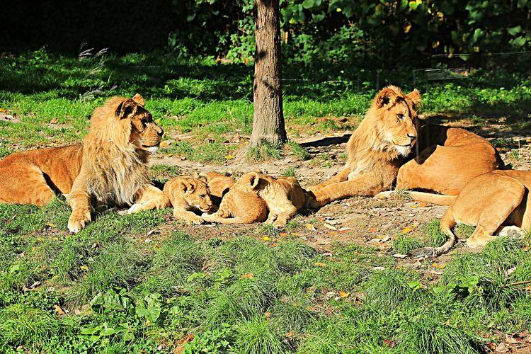 Lions Happy Family! ❤ GAIAZOO-KERKRADE Wildbeast Noedit Outdoors