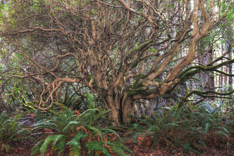 A weird tree growing in the forest along Jugghandle trail between Mendocino and Fort Bragg. HDR Collection HDR Tree Plant Forest Tranquility Nature Beauty In Nature No People Scenics - Nature Outdoors WoodLand Green Color Tranquil Scene Rainforest Ferns Fern Branches