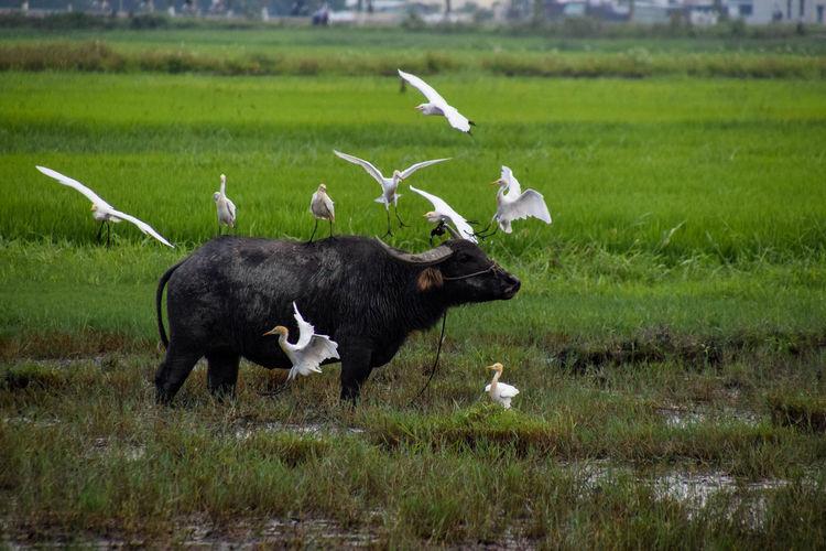 Water buffalo WaterBuffalo Buffalo Animal Themes Animal Animal Wildlife Birds Nature Rice Culture Close-up