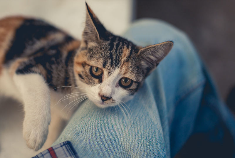 Calico Animal Themes Cat Close-up Cute Day Denim Domestic Animals Domestic Cat Feline Focus On Foreground Friend Friendship Human Body Part Kitten Looking At Camera Mammal One Animal One Person Paw Pets Portrait Tortoiseshell Cat Whisker Young Animal
