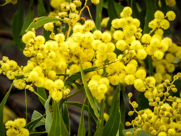 Golden wattle tree flowers Australian Native Flora EyeEm Nature Lover Macro Photography Australian Photographers Beauty In Nature Close-up Flower Flower Head Flowering Plant Focus On Foreground Fragility Freshness Golden Wattle Growth Inflorescence Nature No People Plant Selective Focus Vulnerability  Wattle Wattle Flower Wattle Tree Yellow Yellow Flowers