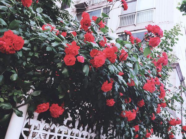 장미 꽃 Rosé Flower