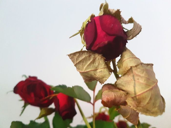 Roses White Background No Love Sad Sadness Red Flower Leaf Autumn colors