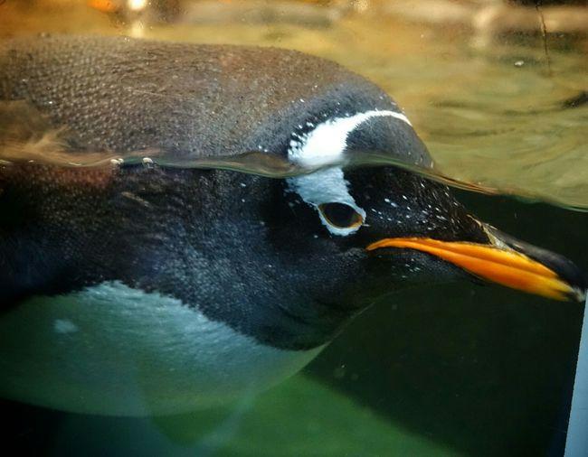 Penguin Birds Animals Cute Animals Bird Photography EyeEm Nature Lover Underwater