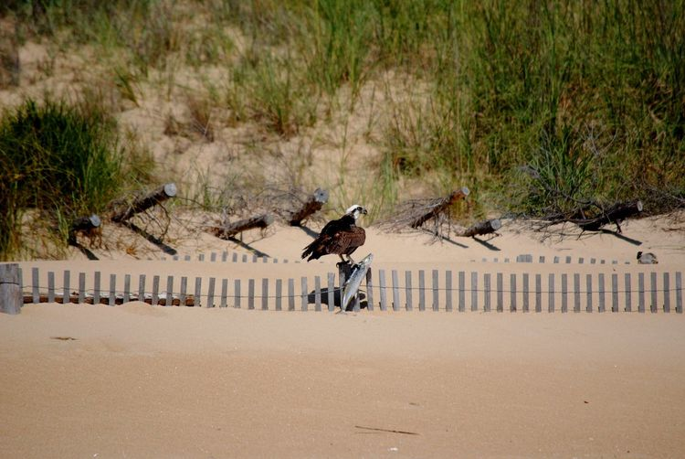 Osprey with captured fish on ocean beach fence
