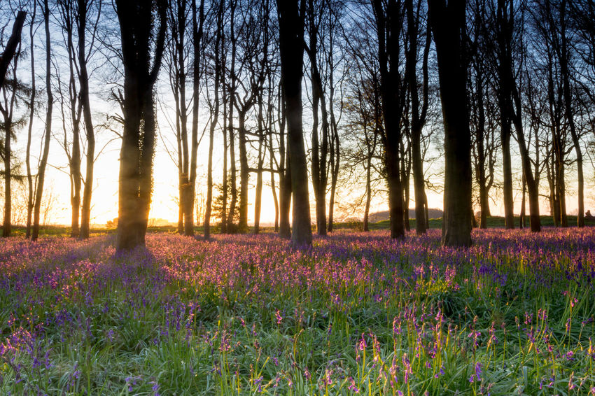 Abundance Beauty In Nature Bluebell Bluebell Wood Day Field Flower Flowerbed Fragility In Bloom Landscape Nature Non-urban Scene Outdoors Plant Purple Remote Scenics Springtime Sunrise Tranquil Scene Tranquility Tree Wildflower WoodLand