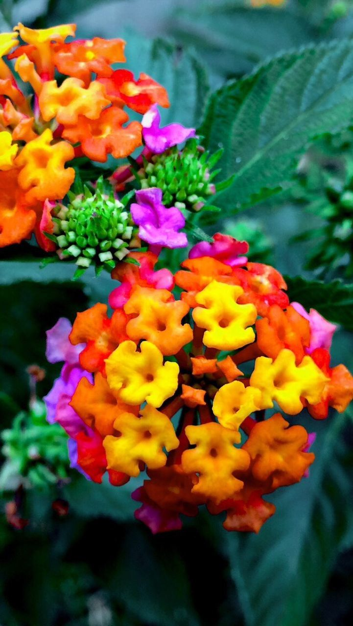 flower, freshness, beauty in nature, fragility, growth, plant, nature, outdoors, lantana, petal, lantana camara, day, leaf, flower head, park - man made space, no people, close-up, blooming