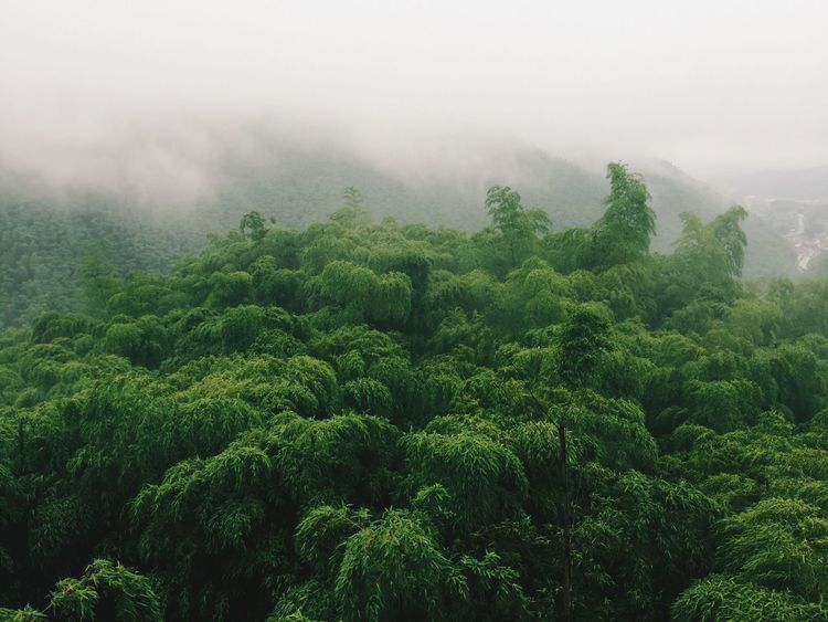 Fog Foggy Rainy Days Rain Bamboo Bamboo Forest EyeEm Nature Lover Nature Hill Hanging Out Relaxing View From Above