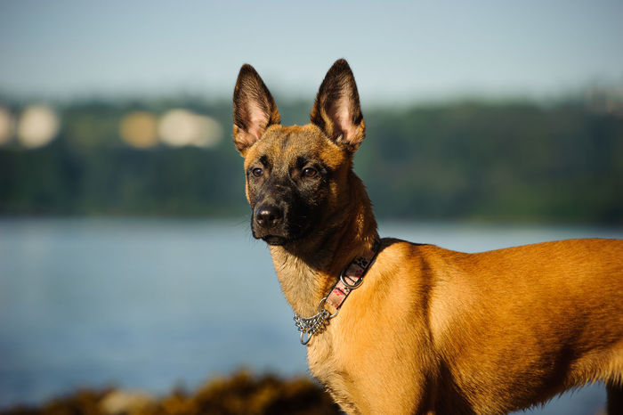 Belgian Malinois dog Animal Belgian Malinois Day Dog Dogs Domestic Animals Mammal Nature No People Outdoors Pet Pets Protection Protection Dog Puppy Water