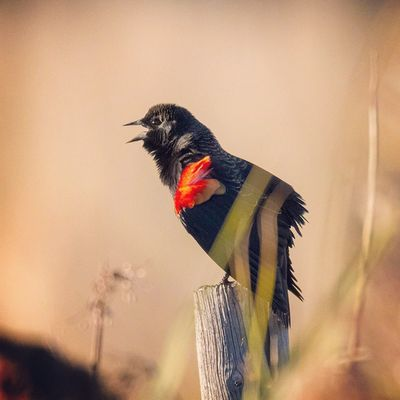 A male Redwinged Blackbird calling into the Sunset light in Utah
