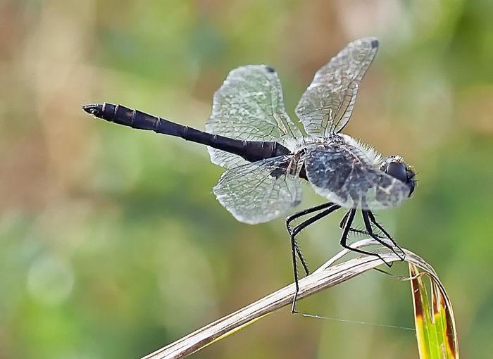 Schwarze Heidelibelle (Männchen) Adult Beauty In Nature Black Close-up Danae Day Dragonfly Focus On Foreground Heidelibelle Libellen Makro Männchen Nature No People Outdoors Schwarze Heideliblle Sympetrum
