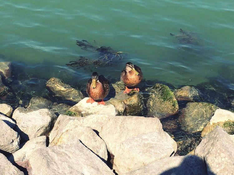 Hungary Ducks Balaton Animal Themes Animal Wildlife