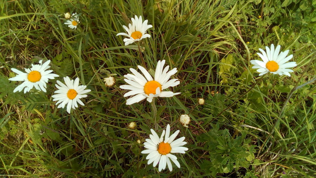 Flowering Plant Flower Plant Freshness Fragility Vulnerability  Growth Beauty In Nature Petal Flower Head Inflorescence Field Daisy Nature Close-up White Color Land Grass High Angle View No People