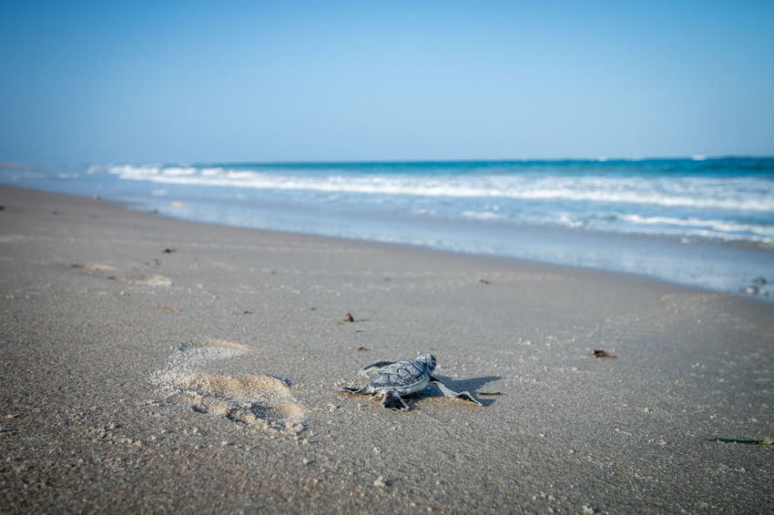Baby Green sea turtle running for the sea. Baby Endangered Species Indian Ocean Reptile Sealife Tanzania Africa Animal Animal Themes Animal Wildlife Animals In The Wild Beach Beauty In Nature Green Sea Turtle Horizon Over Water Nature No People One Animal Outdoors Sand Sea Sea Turtle Turtle Water Wave