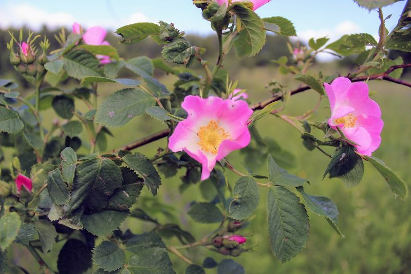 Beauty In Nature Blooming Briar Brier Canker-rose Close-up Day Dog-rose Dogrose Eglantine Flower Flower Head Fragility Freshness Growth Leaf Nature No People Outdoors Petal Pink Color Plant EyeEmNewHere