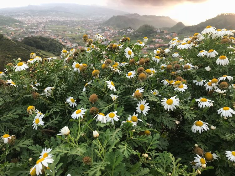 Primavera Plant Flower Mountain Flowering Plant Beauty In Nature Growth Nature Land Freshness Environment Sky Scenics - Nature Field No People Landscape Mountain Range High Angle View Day Sunlight Green Color