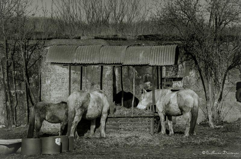 Chevaux Noir Et Blanc Black & White Chevaux Nikon