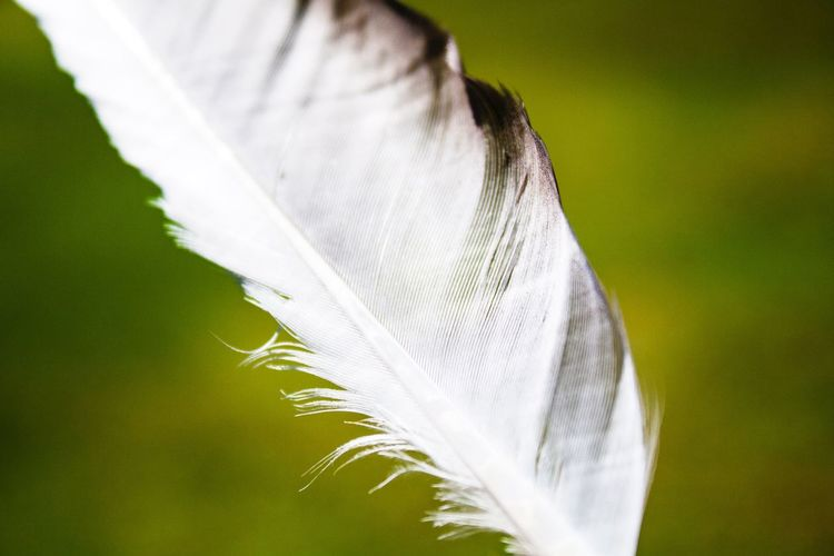Feather  Black And White Lines & Curves Texture Green Background Found In Nature One Feather One Object Simple Lines Sunny Day Nature Walk Fun Finds Simplicity Simple Photography Simple Light As A Feather Nature_collection Diagonal Lines