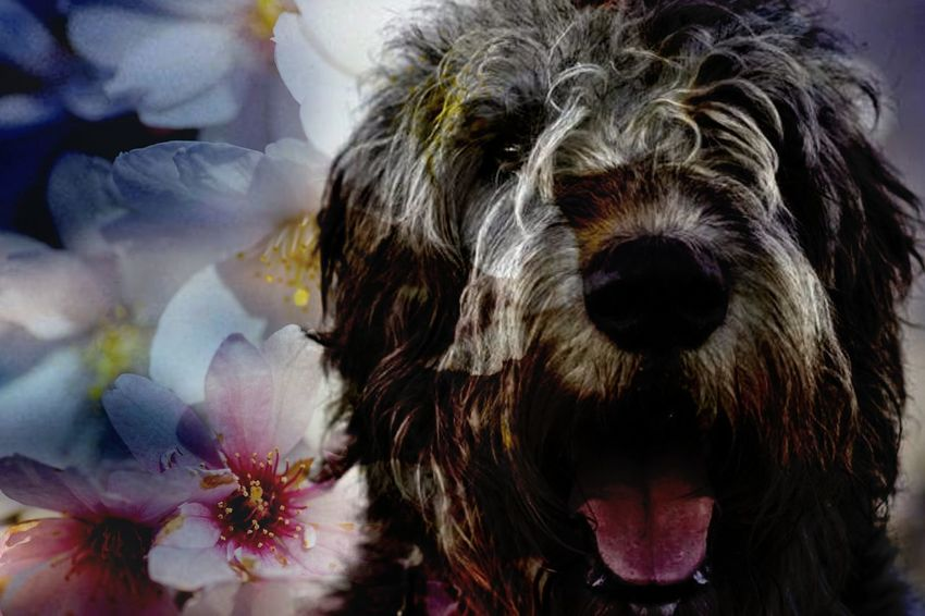 One Animal Animal Themes Domestic Animals Mammal Have A Nice Day♥ Hello World Dogface Dog Face Irish Wolfhound Lovedogs Gentle Giant. Irishwolfhound Willi The Wolfhound Irish Wolf Hounds. Mommys Boy❤ Blossom Flower