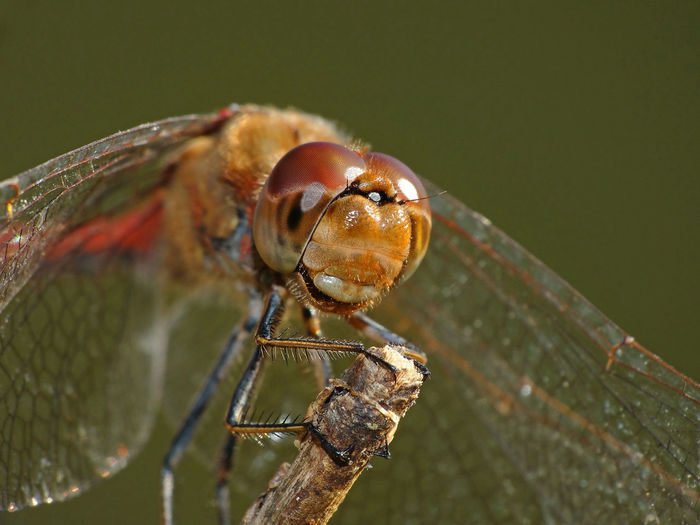 Sympetrum Striolatum - Serchio River Animal Behavior Anisoptera Arthropoda Close-up Dragonfly Close-up Portrait Dragonfly Happy Dragonfly On Reed Dragonfly Smiling Dragonfly💛 Hexapoda Insect Insecta Libellulidae Nature Odonata Odonata Close-up Portrai Odonata Happy Odonata On Reed Odonata Smiling Outdoors Sympetrum Sympetrum Striolatum