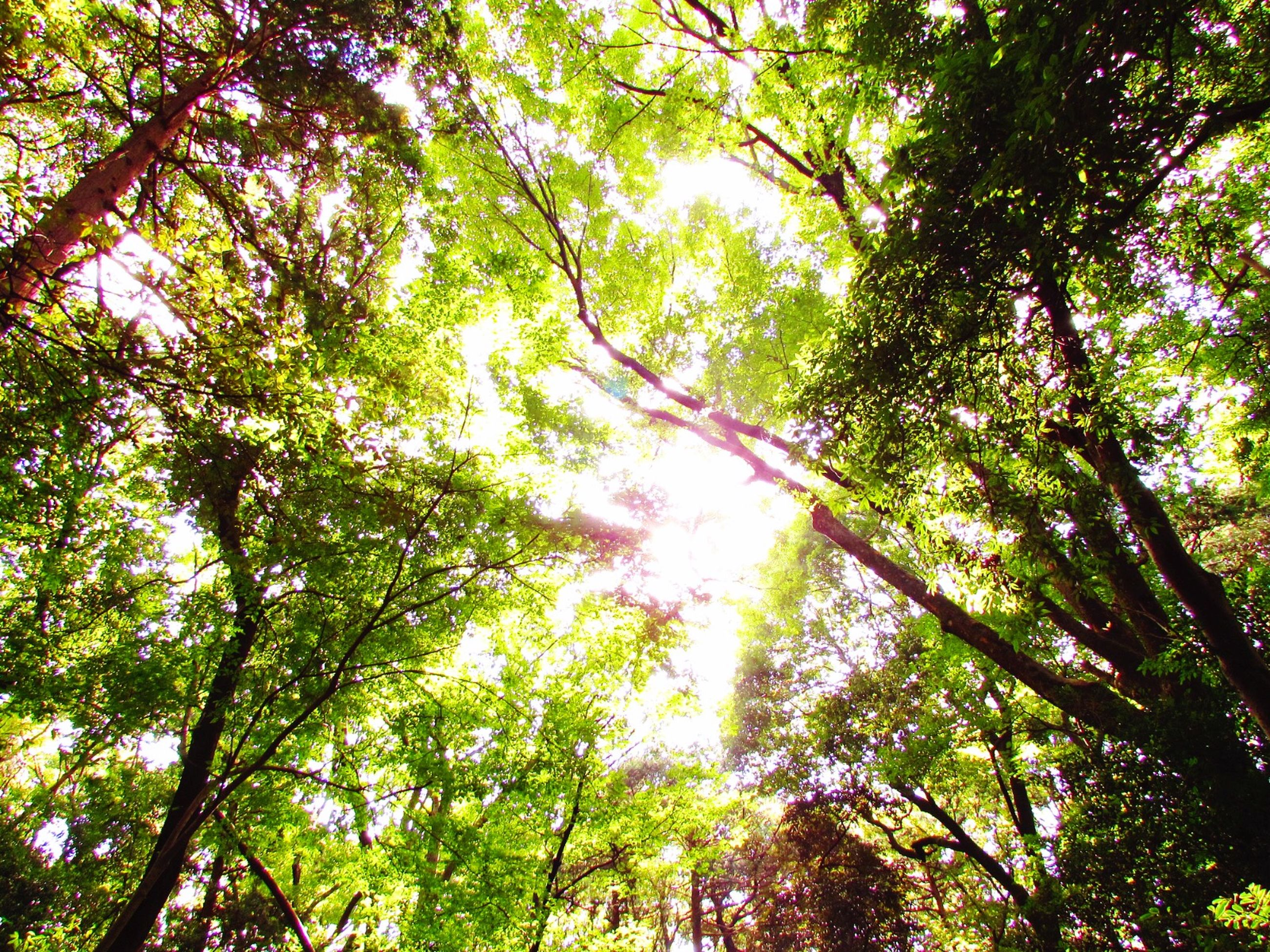 tree, low angle view, growth, branch, tranquility, forest, nature, beauty in nature, green color, tree trunk, tranquil scene, scenics, lush foliage, day, sky, backgrounds, outdoors, no people, woodland, sunlight