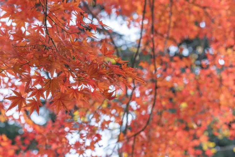 Beautiful autumn colors of japanese maple tree iroha momiji leaves background in yoyogi