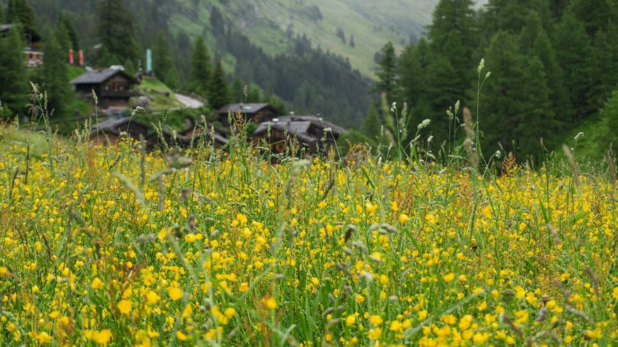 Scenic view of yellow flowers on field