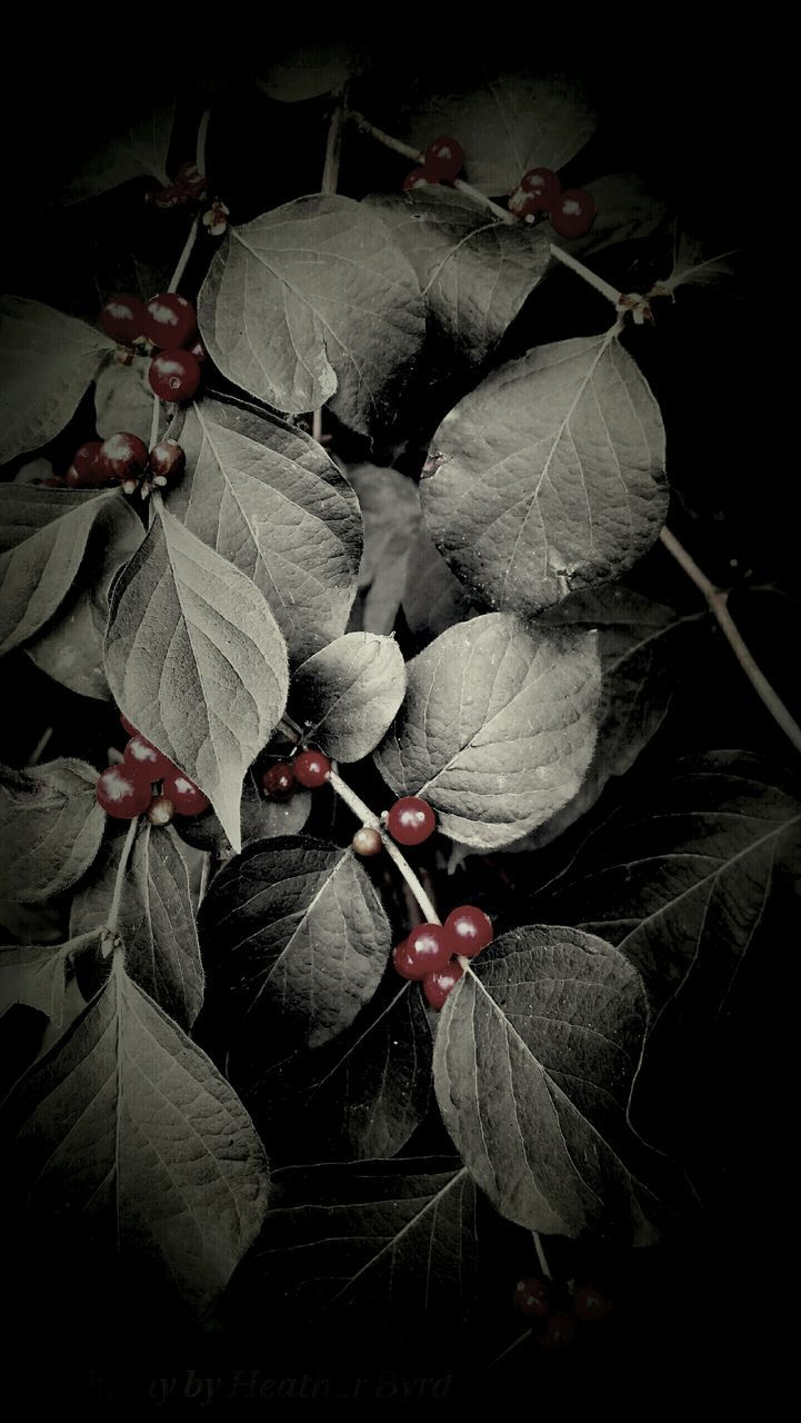 Cherries Growing In Forest