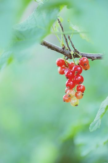Fruit Red Nature Beauty In Nature Hokkaido Sapporo Green Color EOS 6D