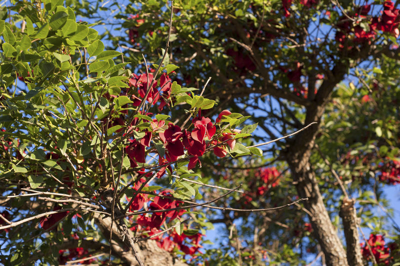 "Cockspur coral tree (Erythrina crista-galli), the ""Ceibo"", Argentina's national flower Cockspur Coral Tree Nature Nature Photography Flora Floral Pattern Flower Nature_collection No People"