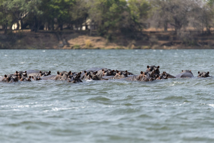 View of hippos swimming in sea