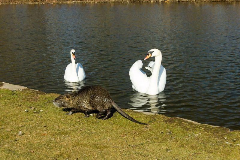 Nutria Swans