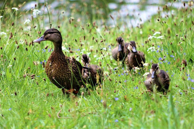 Ducks on a field