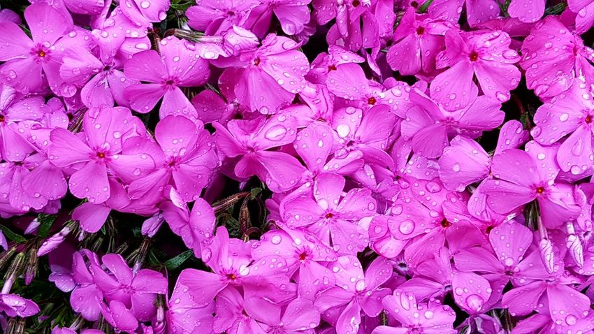 Kind Of Phlox Flower Pink Color No People Day Fragility Growth Beauty In Nature Nature Outdoors Plant Backgrounds Close-up flower heads Freshness After The Rain Springtime